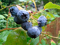 Billberries are a traditional part of Lughnasa