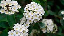 The May flower is closely associated with Beltaine